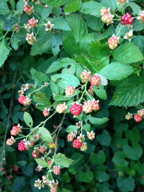 Name:  blackberries.JPG
