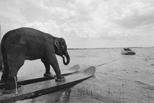 Name:  above-water-animal-animal-antics-animals-on-skis-athletic-elephant-beach-Favim.com-38857.jpg Views: 107 Size:  43.7 KB