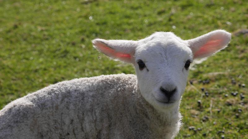 Name:  lamb3.jpg Views: 66 Size:  49.3 KB