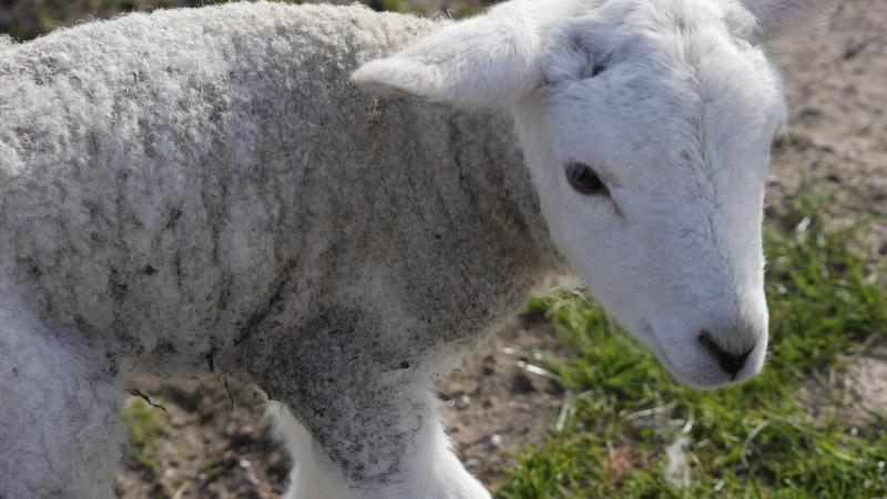 Name:  lamb1.jpg Views: 66 Size:  54.6 KB