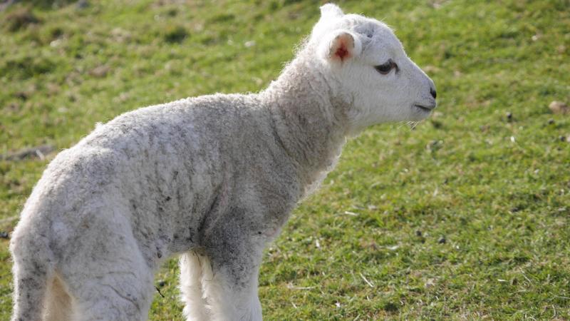 Name:  lamb2.jpg Views: 64 Size:  62.0 KB