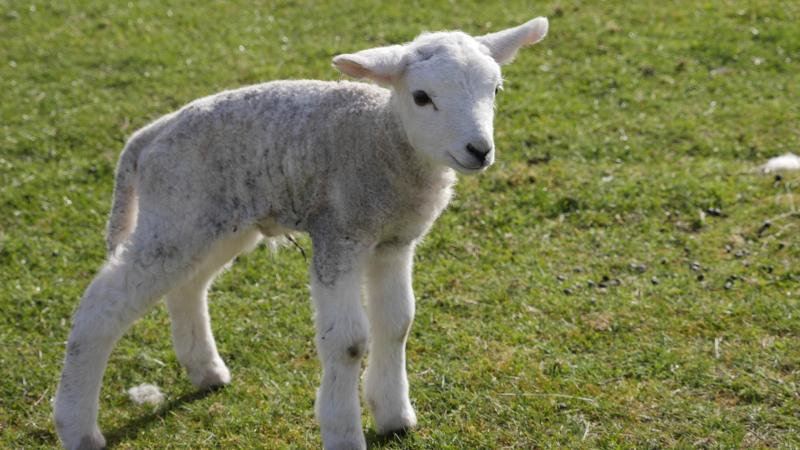 Name:  lamb5.jpg Views: 66 Size:  65.4 KB
