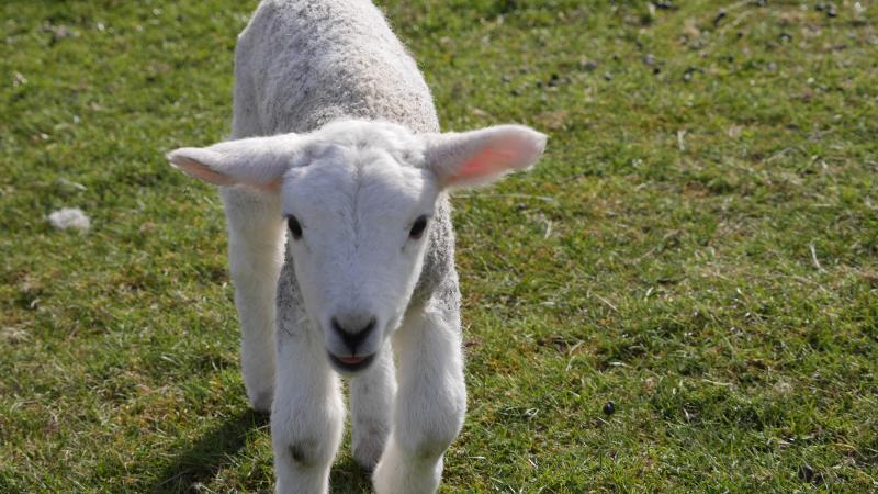 Name:  lamb6.jpg Views: 65 Size:  75.5 KB