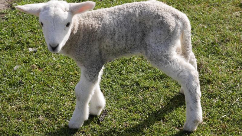 Name:  lamb7.jpg Views: 63 Size:  109.0 KB