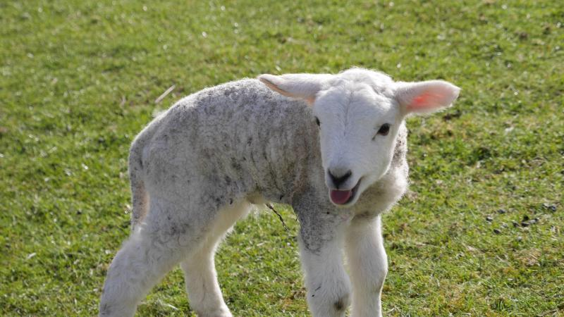 Name:  lamb4.jpg Views: 64 Size:  67.4 KB