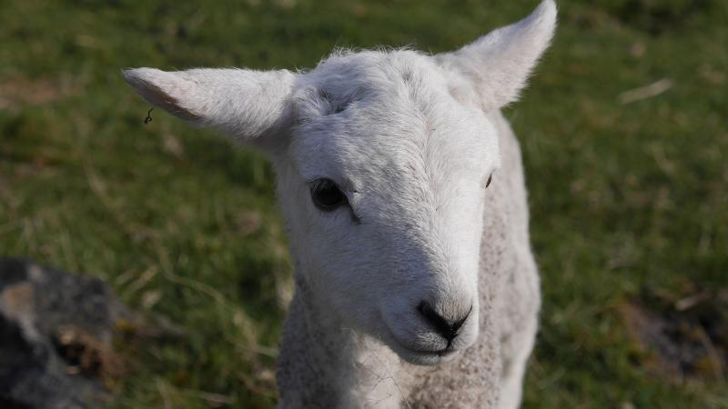 Name:  lamb8.jpg Views: 65 Size:  35.5 KB
