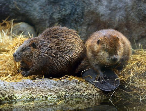 Name:  beaver-brigade-art-gp0lfl8l-1beaver-brigade-jq-1-jpg.jpg Views: 55 Size:  194.7 KB